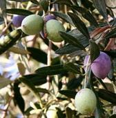 240px-Olivesfromjordan_resize