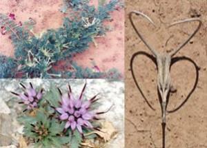 Pedaliaceae